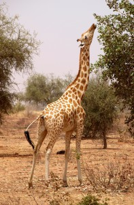 Lamarck's giraffe via Flickr