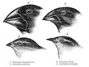 Galapagos Islands finches via wikimedia commons
