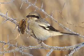 Northern shrike via wikipedia