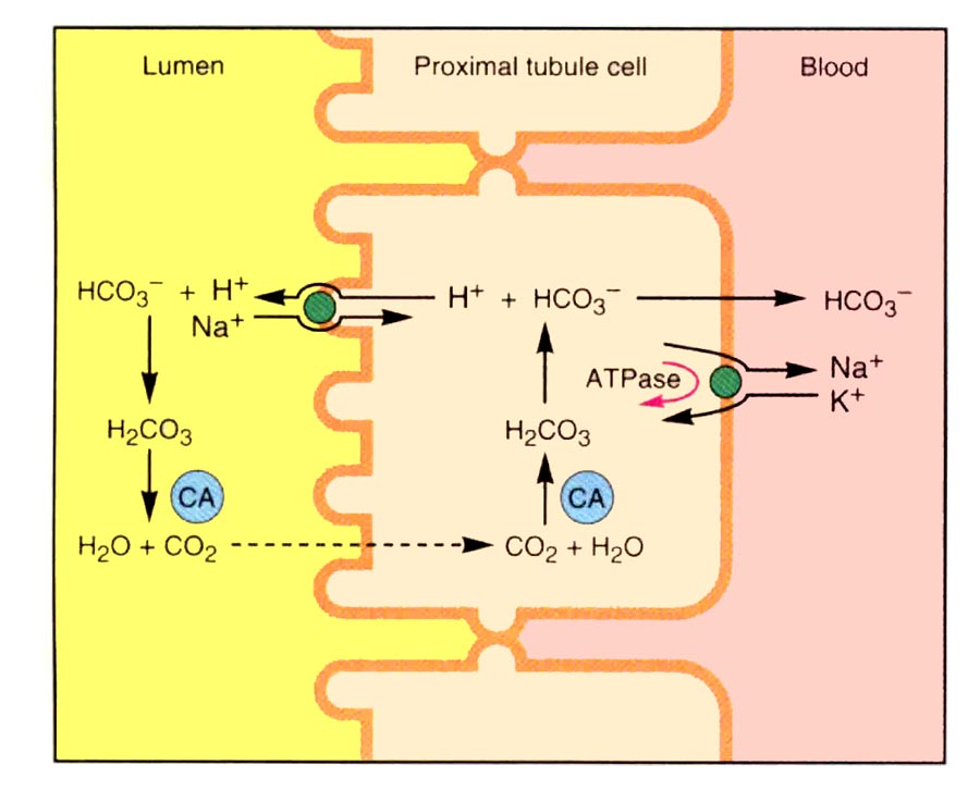 blood buffer The addition of carbon dioxide to a water-based solution can cause acidification of that solution in the blood and in the ocean, this is mitigated through a complex.