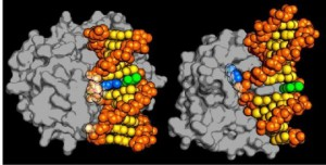 A new type of DNA repair enzyme, AlkD, was discovered only recently. Source: Science Daily