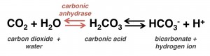 carbonic anhydrase reaction