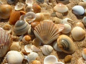 Seashells, via shelloutlet.com