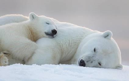 Polar Bears Aren T White