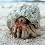 Diogenes heteropsammicola: The Coral wearing Hermit Crab