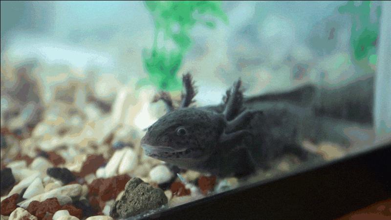 Axolotl in a tank