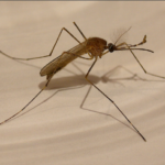 Mosquitos: Deadly or Helpful?